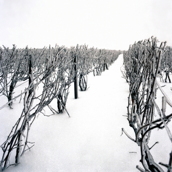 A northern vineyard