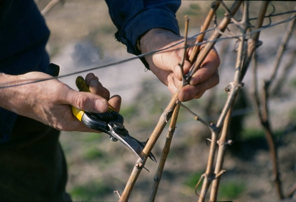 Champagne know-how, pruning